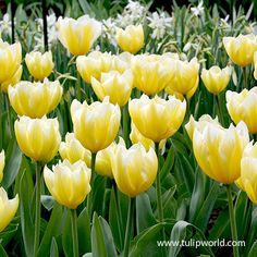 Sweetheart has buttercream yellow blooms in early spring. The long lasting blooms are large and showy. When Sweetheart Fosteriana Tulip is combined with blue hyacinths of grape hyacinths in makes for a classic combination. Fosteriana Tulips are. Garden Forum, Garden Tools, Blue Hyacinth, Summer Bulbs, Tulips Garden, Tulip Bulbs, Spring Plants, Planting Bulbs, Tulips