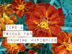 It's usually not a question of whether or not to have marigolds. It's more a question of what kind and how many to plant. Marigolds aren't only attractive, they're useful as well. Growing Marigolds, Growing Flowers, Tips And Tricks, Landscaping Tips, Front Yard Landscaping, Gardening Supplies, Gardening Tips, Plant Diseases, Annual Flowers