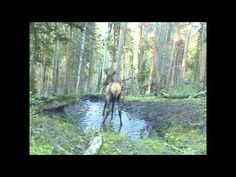 what young elk can resist a mud puddle? This is so cute