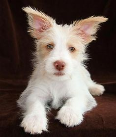 Portuguese Podengo ~ Looks like this breed would have a cute personality.  I'll have to read up on them. Sure are cute.