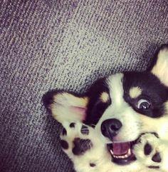 corgi puppy!!! so cute
