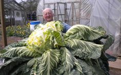 A cauliflower weighing 27.48 kg (60 lb 9.3 oz) on 21 April 2014 http://www.telegraph.co.uk/content/dam/Food%20and%20drink/2015-09/LH/guiness-149565-Heaviest-cauliflower-2-large.jpg