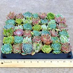 Wholesale priced assortment of 42 Echeveria soft succulent plugs chosen for color, texture, and variety. Drought tolerant, but will not tolerate frost. Excellent house plants. Beautiful wedding favors.