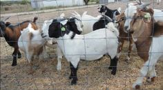 #goatvet likes these Tennessee meat goats