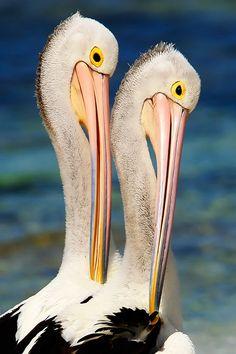 Pelican Pair Poise Rottnest Island by Denis Glennon