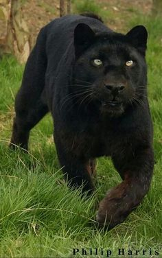 Black leopard might be a black jaguar-panther, I'm not sure though looks more like one Beautiful Cats, Animals Beautiful, Cute Animals, Wild Animals, Baby Animals, Nature Animals, Big Cats, Cats And Kittens, Gato Grande