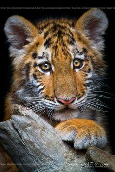Amur Tiger Cub - by AforAperture on deviantART