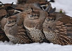 A bevy of quail