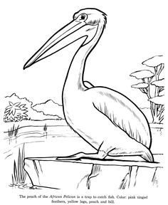 Do You Want To Familiarize Your Child With The Different Kinds Of Water Birds These Printable Pelican Coloring Pages Are One Amongst List