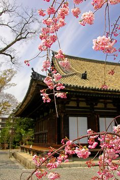 #japan #kyoto - cherry blossoms