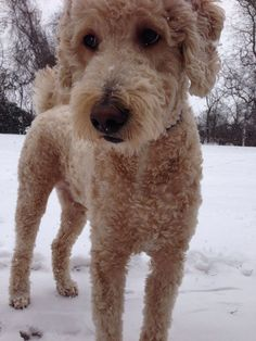 23 best images about goldendoodle haircuts on pinterest my fav standard poodle cut just like a big teddy bear