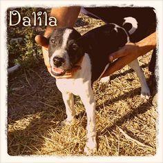 Dalila es una cachorrita cruce de #bodeguero que fue abandonada en el campo junto a sus hermanitos. No puede crecer sin conocer el amor de un hogar. ¡Ayúdanos a cambiar su vida!