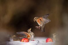 Animal Behaviour category entry: 'A Pair of Redwings Come to Blows in a Dispute over some Windfall Apples' by Andrew Parkinson. - © Andrew Parkinson