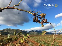 At AVINA we offer sturdy, heavy duty wine accesories such as wine bottle stoppers and waiters wine openers. Wine Vineyards, Wine Bottle Stoppers, Corporate Gifts, Gifts For Him, Harvest, Seasons, In This Moment, Amazon, Travel