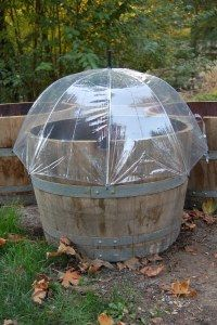 Photo album: Creative use of umbrellas, new raised beds, wine barrel planters, and metal roof Barrel Garden Ideas, Barrel Garden Planters, Wine Barrel Garden, Whiskey Barrel Planter, Diy Mini Greenhouse, Greenhouse Ideas, Garden Cloche, My Secret Garden, Metal Roof