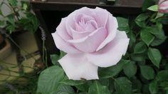 blue diamond rose fryers - Google Search