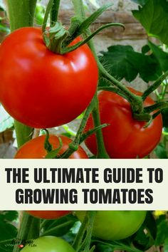 Vegetable Gardening for Beginners: Learn everything you need to know about growing tomatoes including tips on starting tomatoes from seeds, growing tomatoes in pots, and how and when to harvest tomatoes