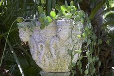 Xerosicyos (dollar vine) Types Of Succulents, Colorful Succulents, Hanging Succulents, Succulents Garden, Dappled Light, Coastal Gardens, Variegated Plants, Side Garden, Shade Structure
