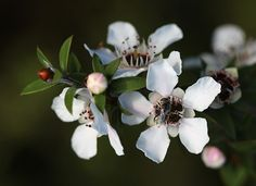 Recent Research on Manuka Honey Benefits