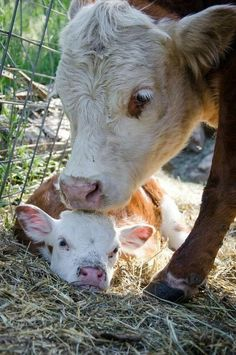 momma cow kisses.