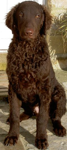 Curly Coated Retriever Dog ~ my heart just expanded twice its size! Beautiful Dogs, Animals Beautiful, Cute Animals, Golden Retrievers, I Love Dogs, Cute Dogs, Curly Coated Retriever, Dog Furniture, Purebred Dogs