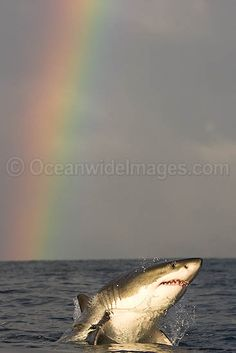 Great White Shark, such a cool picture