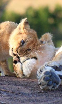 Lion Cub Giving His Mama a Little Lovin'.