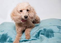 Meet Bella, a Petfinder adoptable Poodle Dog | Colorado Springs, CO | Hi there! I was recently rescued by National Mill Dog Rescue, and my dedicated care team is still...