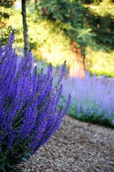 Salvia in Ábaton gardens