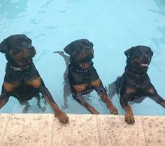 That's the rottweiler pool party...  by rottweilerlover