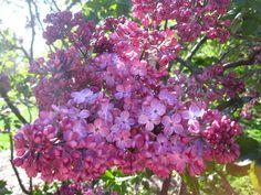Syringa vulgaris 'Maiden's Blush' | by Brooklyn Botanic Garden