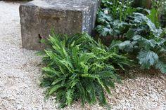 Buy hard fern , deer fern Blechnum spicant - Evergreen fern for acid soil: 2 litre pot: Delivery by Crocus Shade Garden, Garden Plants, Deer Fern, Evergreen Ferns, Garden Borders, Herbs, Delivery, Chelsea 2016, Garden Ideas