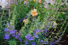 A Rose is a Rose...: Companion plants for roses and some color combos
