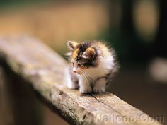 Fluffy baby calico kitten on wooden fence. My heart !