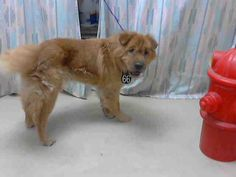 This DOG - ID#A409743I am a male, brown and red Chow Chow mix (Looks like a bear coat Shar-pei).My age is unknown.I have been at the shelter since Jun 30, 2014.This informati...