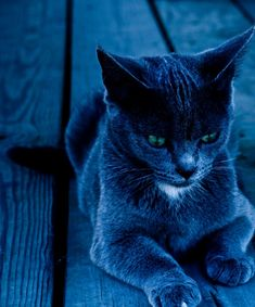the Russian Blue. Warrior Cats, Crazy Cat Lady, Crazy Cats, Matou, Russian Blue, Blue Cats, Here Kitty Kitty, Hello Kitty, I Love Cats
