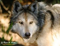 Save the Mexican wolves by releasing them into Arizona and New Mexico