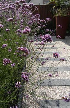 Mass of airy Verbena bonariensis borders garden path of pavers in gravel. Side Garden, Garden Paths, Garden Landscaping, Back Gardens, Small Gardens, Outdoor Gardens, Verbena, Rue Verte, Dream Garden