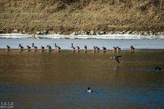 Hungary, Penguins, Bird, Animals, Animales, Animaux, Birds, Penguin, Animal