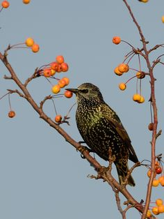 European Starling - Étourneau sansonnet by Denis Turcotte on 500px