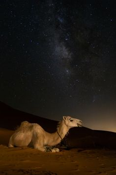 cherjournaldesilmara: Dromedary under the milky way