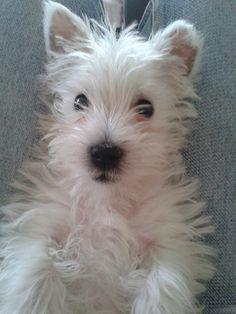 Gorgeous, Beautiful Westie  <3