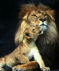 I want the king lion to have this look on his face and the boy cub to be placed like this Nature Animals, Animals And Pets, Baby Animals, Cute Animals, Lion Pictures, Animal Pictures, Beautiful Cats, Animals Beautiful, Gato Grande