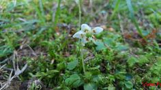 Moneses uniflora,  fam Ericaceae,  denumire populară  ; perişor