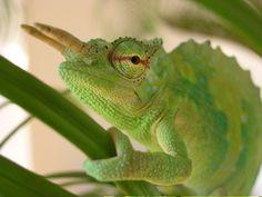 Trioceros montium es una especie de lagarto iguanio de la familia de los camaleones, endémica de Camerún.
