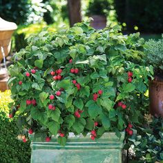 Eat What You Grow: the new dwarf thornless raspberry (and dwarf blueberry) bred to look fantastic in pots, it's easier and more popular than ever to have a good-looking yard you can eat from.