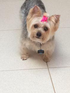 15 Best Silky Terrier Images Pets Silky Terrier Cute