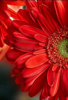 Gerbera daisy- Love the color and flower Amazing Flowers, Pretty Flowers, Red Flowers, Sunflowers And Daisies, Gerber Daisies, Amarillis, Daisy Love, Beautiful Flowers Wallpapers, Flower Phone Wallpaper