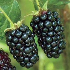Sweet and tasty, blackberries are full of nutrients, including antioxidants. Most blackberry plants grow in zones Gurney's has many thornless blackberry varieties. Blackberry Tree, Blackberry Plants, Growing Vegetables In Pots, Growing Grapes, Fruit Plants, Fruit Trees, Edible Plants, Thornless Blackberries, Gardens