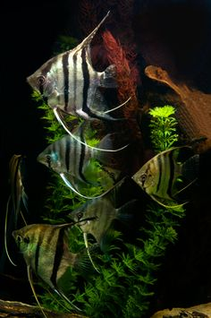 Angelfish have long been a staple of the aquarium hobby due to their elegant appearance and graceful movements, and with new varieties consistently becoming available, they make an excellent choice for many home aquarists. Tropical Freshwater Fish, Freshwater Aquarium Fish, Tropical Fish, Colorful Fish, Cool Fish, Paludarium, Underwater Life, Angel Fish, Beautiful Fish